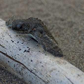 Baby Turtle on way to sea, Tortuguero