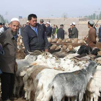 Sheep anyone?