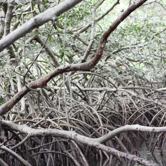Mangroves in Sine Saloum delta