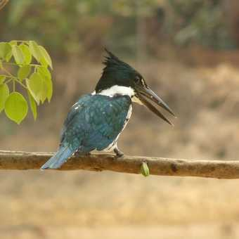 Amazon Kingfisher