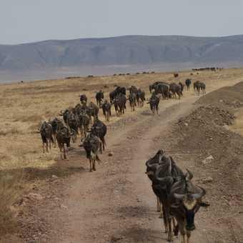 Wildebeest, Ngorogoro Crater