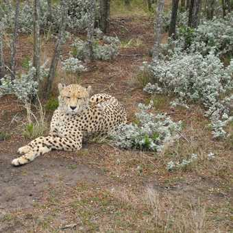 Another cheetah (fell in love with these guys)