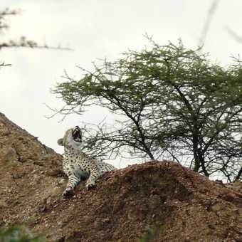 Only cheetah seen
