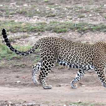 A graceful leopard