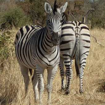Back to front zebra