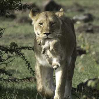 Lionness with cub