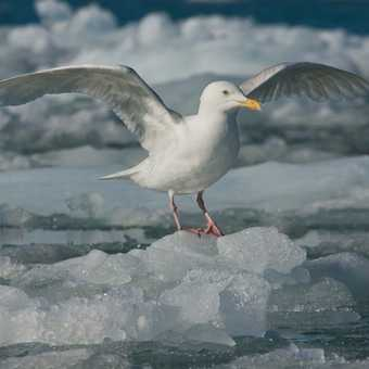 Glaucous Gull on Ice