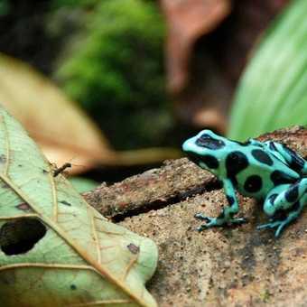 Costa Rican Tree Frog