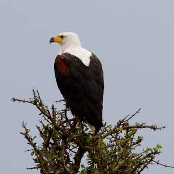 Fish eagle on the other side of the river from our camp