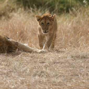 Lions 2