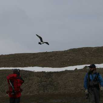 Skua on the alert