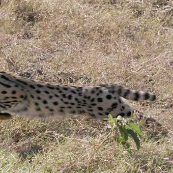 Serval cat pouncing on its prey