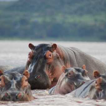 Hippos protecting their patch