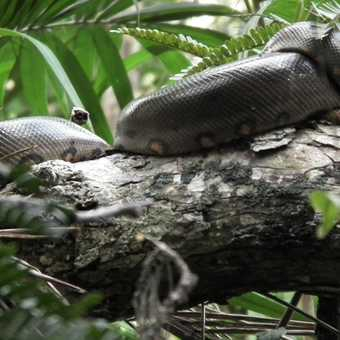 Anaconda