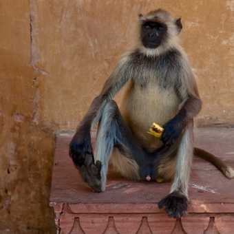Wild monkey relaxing at Amber Palace, Jaipur
