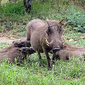 Greedy warthogs