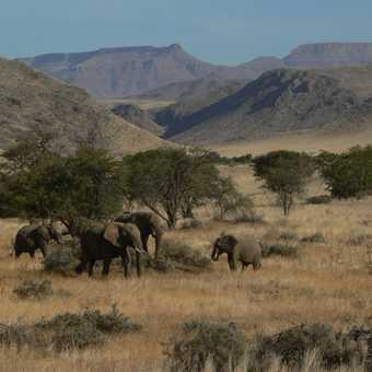 Desert Elis in Damaraland