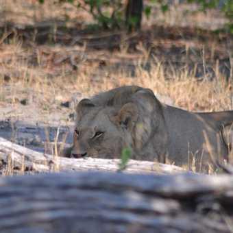 Moremi lions