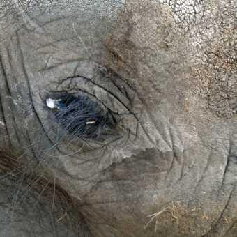 elephant eyelashes