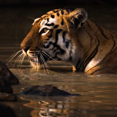 Bengal tiger with catchlight in water hole - Paul Goldstein