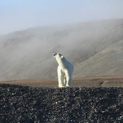 Polar Bear, Canadian Artic