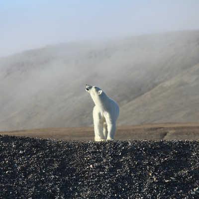Polar Bear, Canadian Artic