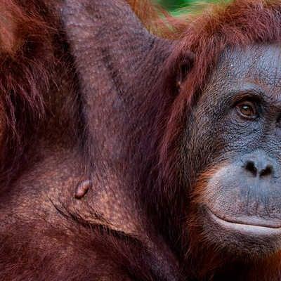 Orang-utans in Sepilok Orangutan Sanctuary, Borneo, Malaysia