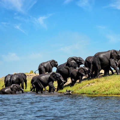 Elephants on a riverbank Chobe, N.P., Botswana