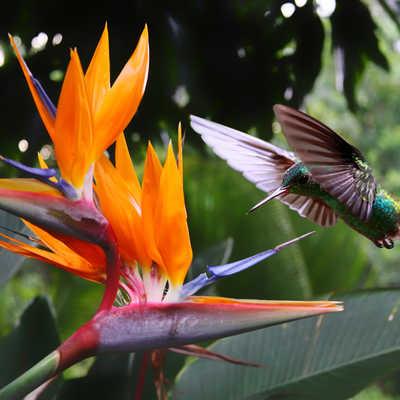 Flying Hummingbird at a Strelitzia flower