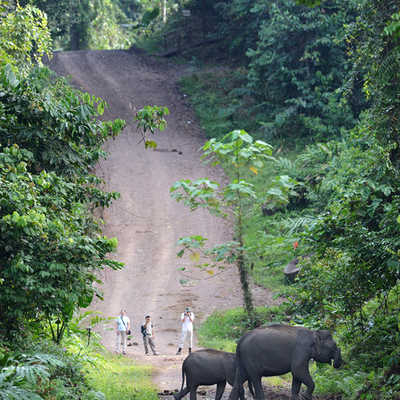 Pygmy elephants in the Danum Valley