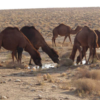 Camels in the Karakum Desert, Turkmenistan