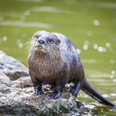 Otter playing in the water