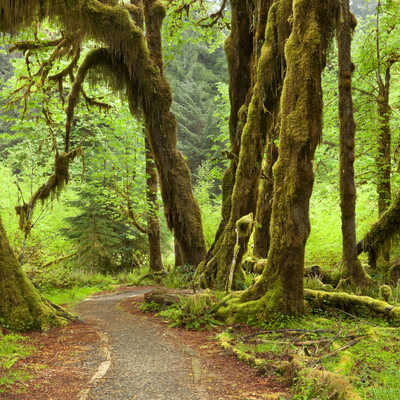 A path through the lush Hoh Rainforest in Olympic National Park, USA