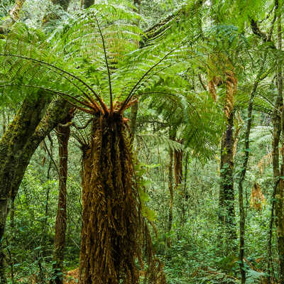 Giant tree ferns. Amboro, Samaipata, Bolivia