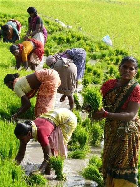 Ladies rice planting team.