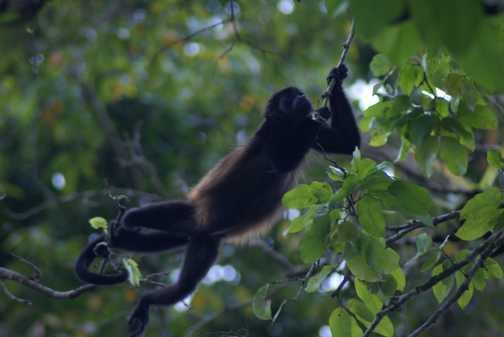 Howler Monkeys in Tortuguero NP