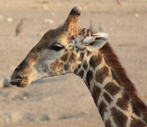 We saw so many giraffe