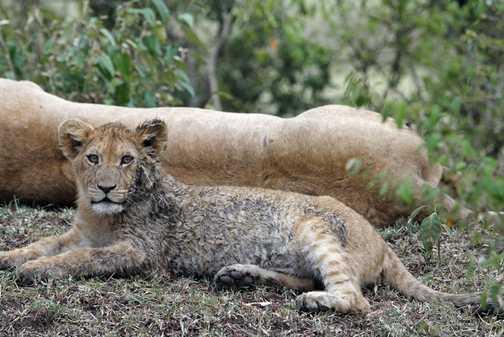 Lion cub - 4 months old