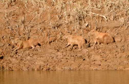 Rio Tambopata, Capibara