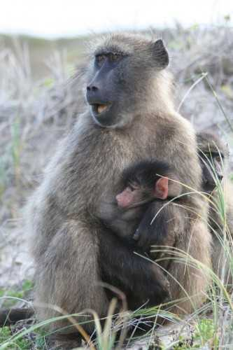 Baboons, Cape Town Penisula