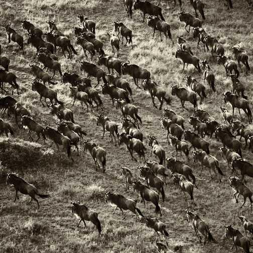 Migration, Masai Mara