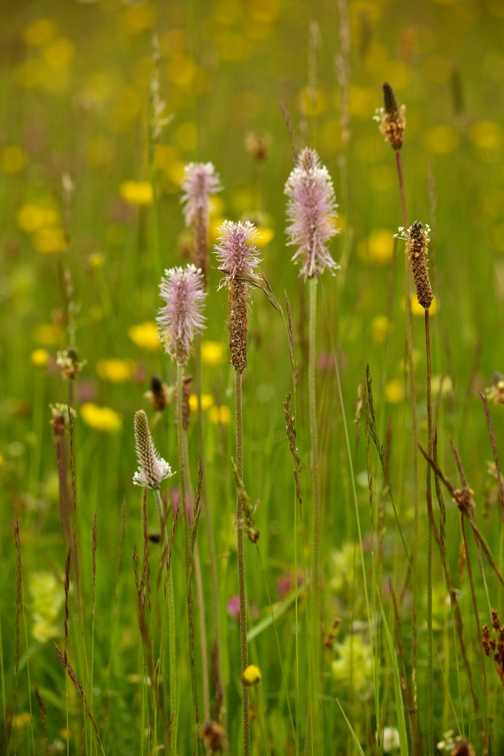 Flowers - Hoary Plantain