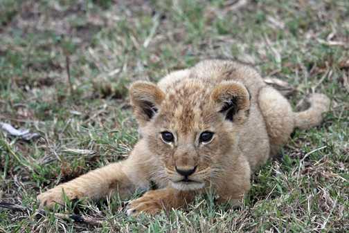 Lion Cub - 1 month old