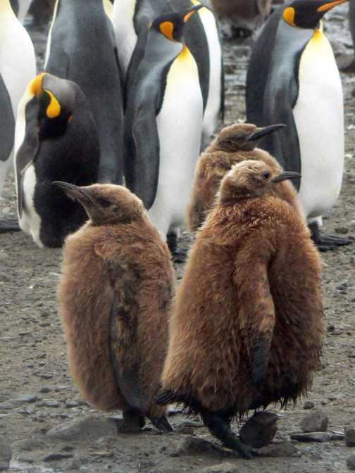 King penguin chicks in their 'fur coats'