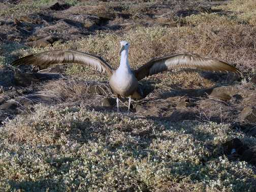 A young Waved Albatross exercises its wings to strengthen them for flight. Punta Suarez (Espanola).