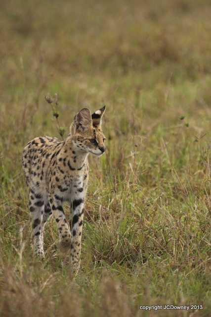 great Serval sighting too!