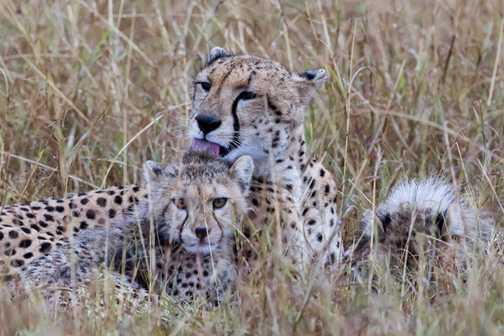 Cheetahs grooming
