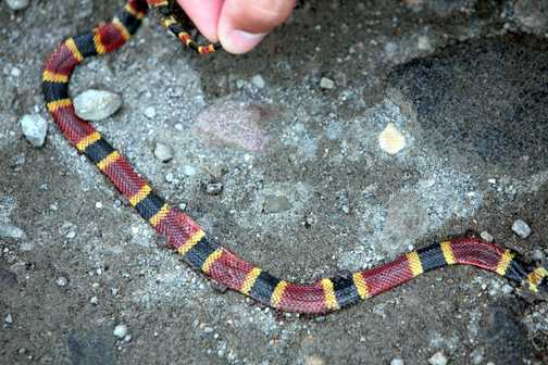 Coral snake dead of course
