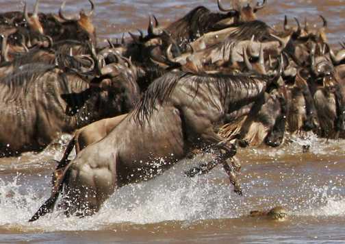 Wildebeest jumps over crocodile