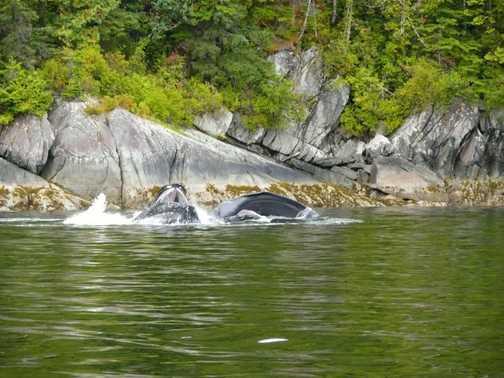 Humpback Whales feeding